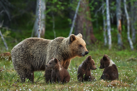 mother bear and three small and adorable puppies in the Finnish taiga