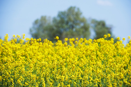 intentionally: Field of yellow rape flowers in Camargue intentionally blurred