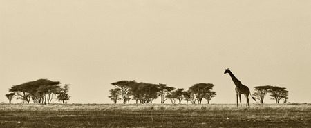 African landscape with giraffe in black and white