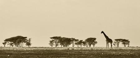jirafa fondo blanco: Paisaje africano con la jirafa en blanco y negro Foto de archivo