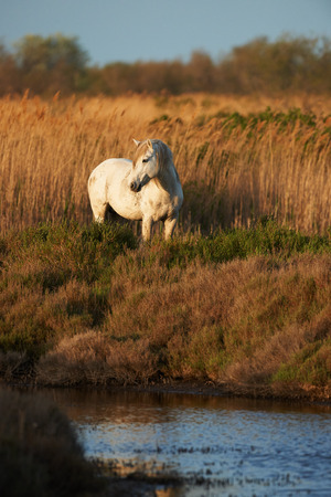 free image: White horse of the Camargue free in the grassland, close to the water, photographed vertically Stock Photo
