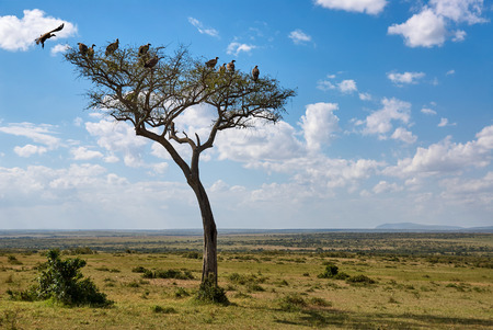 African landscape with tree and vultures photo