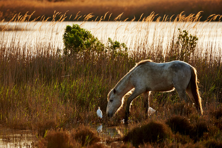 free image: White horse of the Camargue free in the grassland in backlight with a a cattle egret, photographed horizontally