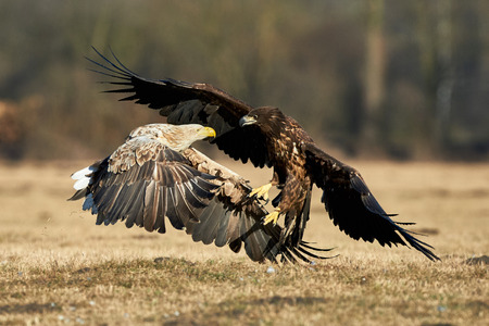 seaa: White-tailed eagles fighting for food in a clearing in Poland