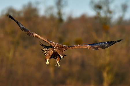 Young White-tailed eagle photographed in flight in the skies of northern Europe