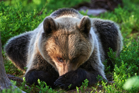 crouched: Bear thoughtful, crouched among the blueberries in a forest in northern europe Stock Photo