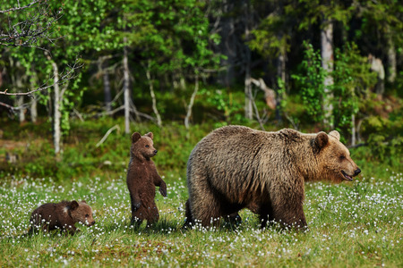 bear cub: Mother bear and her two cubs in a Finnish forest
