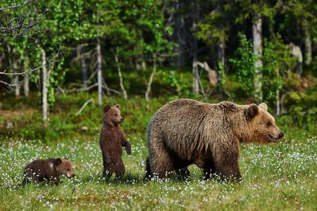ourson: ours m�re et ses deux oursons dans une for�t finlandaise