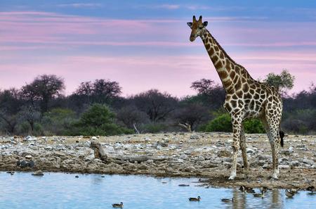 pozo de agua: Jirafa al atardecer cerca de un pozo de agua en un parque en Namibia