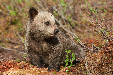 bear s: Little and cute cub of brown bear in the finnish taiga Stock Photo