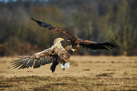 sea bird: White-tailed sea eagles are fighting for prey Stock Photo