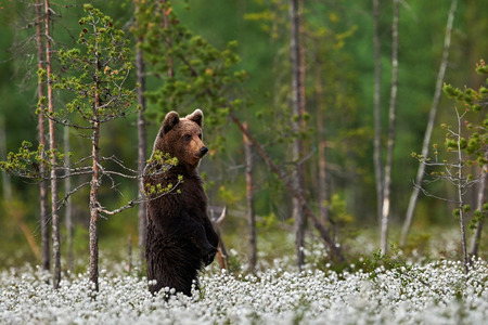 Young brown bear standing among cotton flowers in a Finnish forest Stock Photo