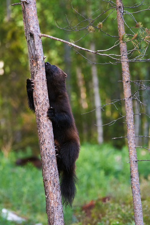 wolverine: wolverine climbing a tree in a Finnish forest Stock Photo