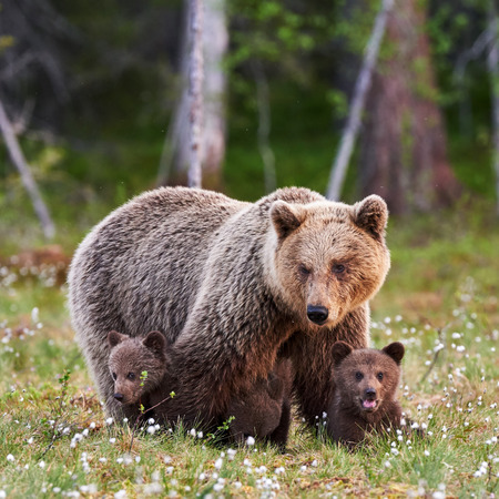 Brown mother bear protecting her cubs in a Finnish forest 스톡 콘텐츠