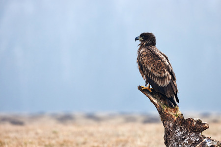 whitetailed: Beautiful juvenile white-tailed sea eagle resting on a tree trunk, photographed in profile Stock Photo