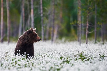 Brown bear sitting betweeen the cotton grass in a finnish forest 版權商用圖片