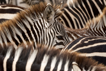 head to head: Head of a young zebra emerging from black and white stripes of zebras Stock Photo
