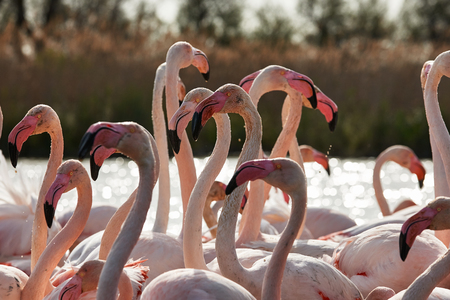 beaks: Close-up image of a beautiful group of flamingos, with heads, necks and beaks in evidence