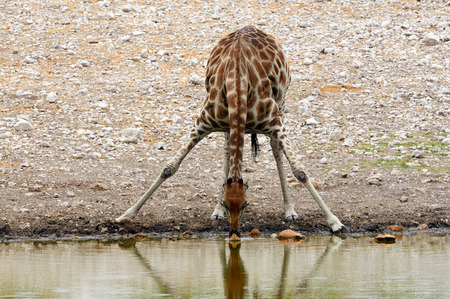 Giraffe photographed frontally while drinking at a waterhole in Namibia