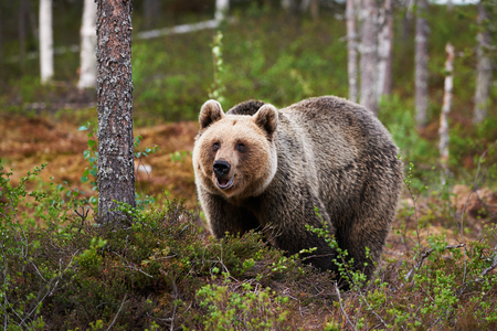 curiously: Beautiful female brown bear watching curiously in a Finnish forest