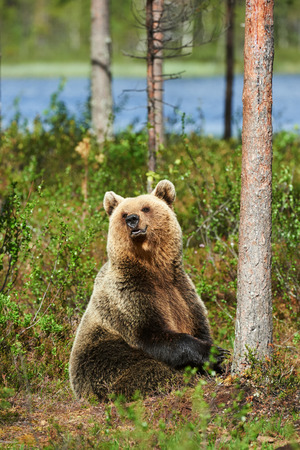 bear lake: Brown bear sitting in the forest in a bright spring day Stock Photo
