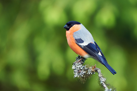 Male european bullfinch perched on a branch covered with lichens Imagens