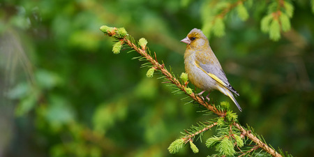 greenfinch: Greenfinch perched on a branch of pine in the spring