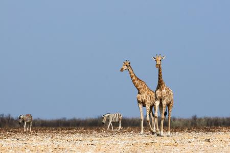 giraffe: Dos hermosas jirafas y dos cebras caminando juntos en un parque de Namibia Foto de archivo