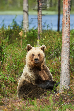 ursus: Beautifull brown bear sitting in the forest in a bright spring day Stock Photo