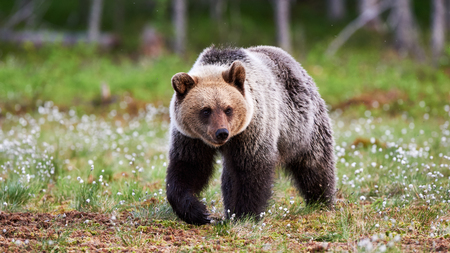 oso: Oso marr�n joven caminando en la taiga finlandesa
