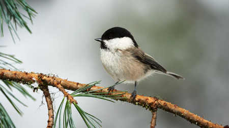 beautiful willow tit photographed in winter on a branch of coniferous tree
