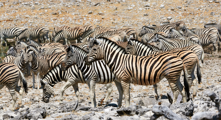 ungulate: Herd of zebra in the rocks of a park in Namibia