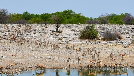 springbok: Herd of Springbok walking to a waterhole to drink Stock Photo