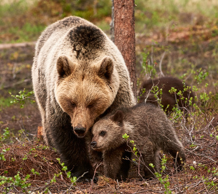 Protective and affectionate mother bear with her little cub in the finnish taiga