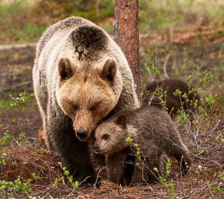 cachorro: Protectora y cariñosa madre osa con su pequeño cachorro en la taiga finlandesa