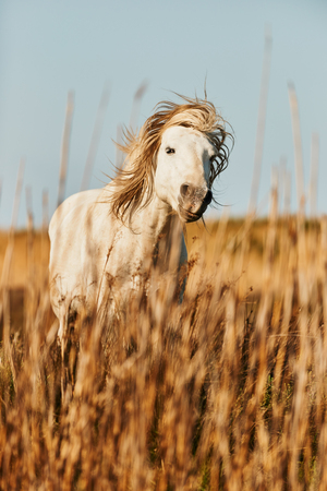White Camargue horse photographed shaking his head moving the mane