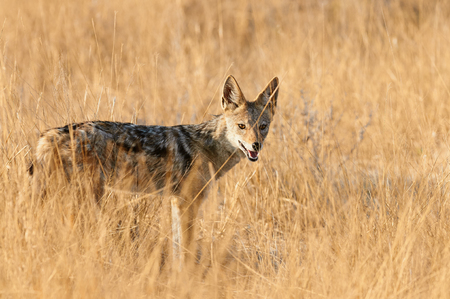 A black-backed Jackal (Canis mesomelas) among tall, yellow and dry grass of the African savannah