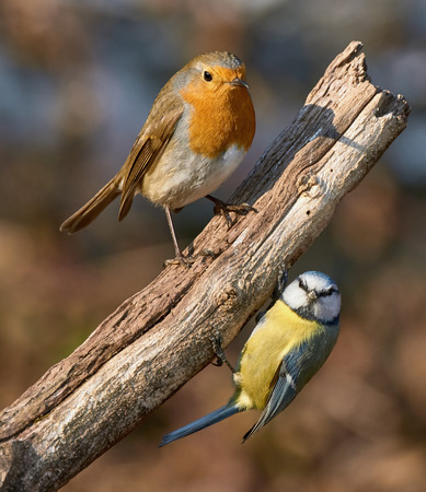 redbreast: perched on the same branch a cute Robin and a vibrant blue tit