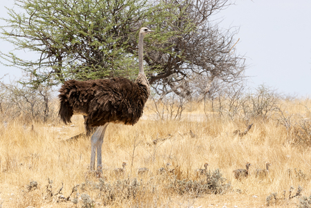 ostrich chick: Female ostrich and chicks in the dry savannah of Namibia