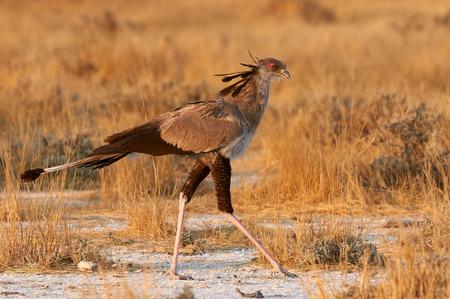 secretarybird caminar elegante en la sabana africana en busca de alimento