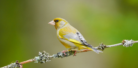 greenfinch: Beautiful male Greenfinch on small branch covered with lichens and light green background Stock Photo
