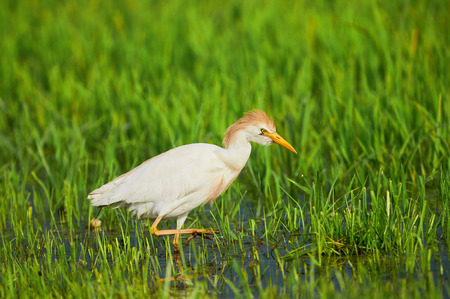 ardeidae: Cattle Egret hunting for frogs between the marsh grasses Stock Photo