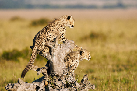 Two young brothers cheetahs observe the Savannah