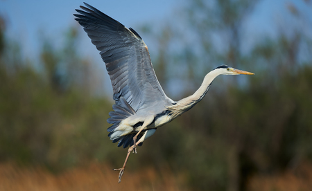 gray herons: Beautiful grey heron photographed while landing Stock Photo