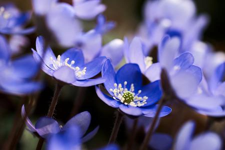 Flowering purple anemone hepatica