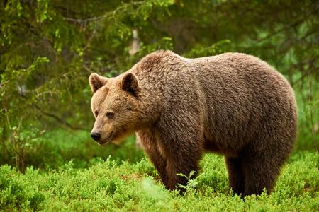wild brown bear: Beautiful and wild brown bear in Finnish taiga Green