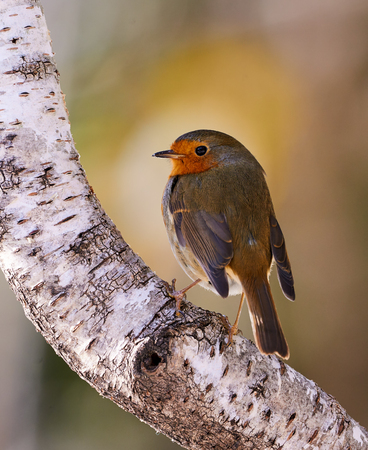 european white birch: Beautiful Robin perched on a birch branch