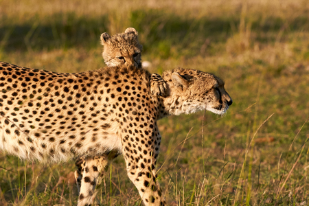 cheetah cub: Beautiful cheetah cub plays with his mom
