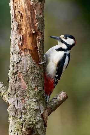 european white birch: Great spotted Woodpecker perched on a birch branch