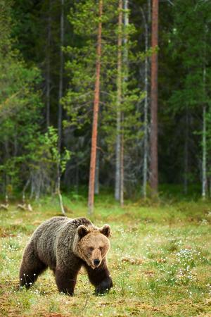taiga: Wild brown bear walking in the green finnish taiga Stock Photo